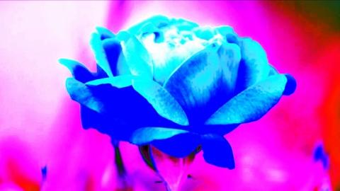 不思議な青い色の薔薇